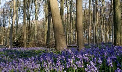 De boshyacinten staan in bloei