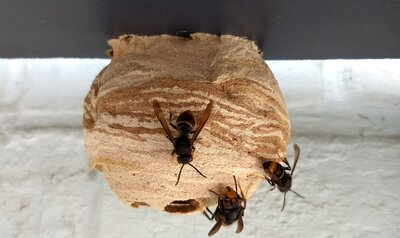Check je tuinhuis op nesten van de Aziatische hoornaar