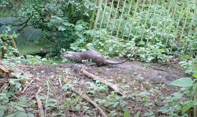 Mannelijke otter vestigt zich in Durme- en Moervaartvallei