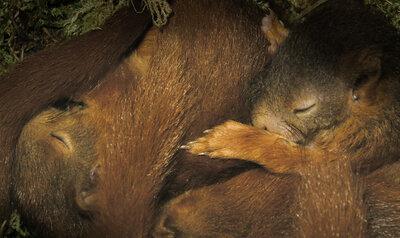 Slapende eekhoornjongen worden wakker
