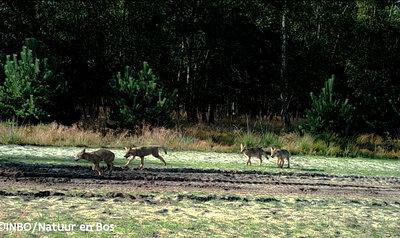 Spelende wolvenwelpjes gespot