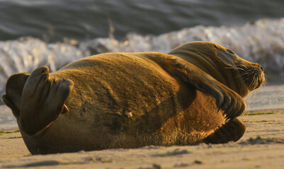 Nazomerende zeehonden in Oostende