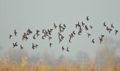 Deze trekvogels kan je momenteel zien tijdens hun najaarstrek