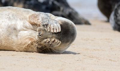 Superpower sunday: de gevoelige snorharen van de zeehond