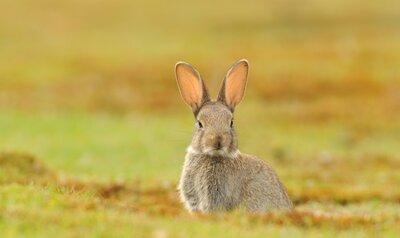 Langoren in gevaar: hazen en konijnen gaan achteruit