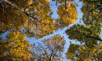 Kroonschuwheid, of hoe social distancing bomen gezond houdt