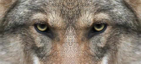 wolf-eyes-e1554990327882.jpg