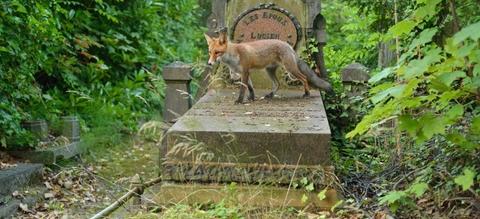 vilda-94966-vos-op-begraafplaats-yves-adams-800-px-47255.jpg