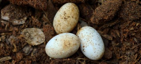eieren-vogelbekdier-zwin.jpg
