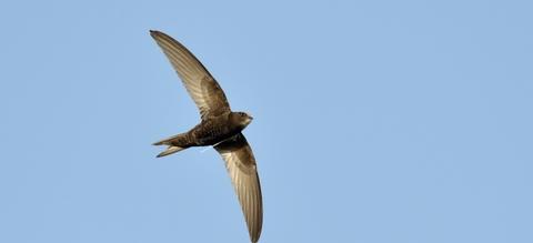 vilda-86770-vliegende-gierzwaluw-yves-adams-800-px-47381.jpg