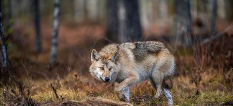 wolf-sluipend.jpg