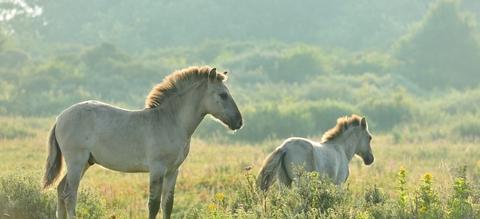 Konikpaarden in het Westhoekreservaat