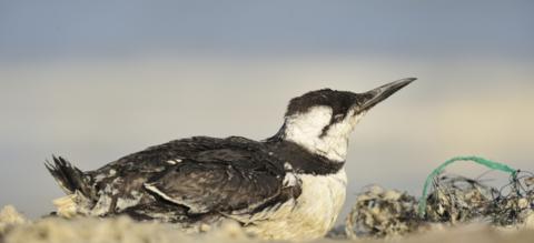 Verzwakte zeekoet zit naast aangespoeld vismateriaal op het strand