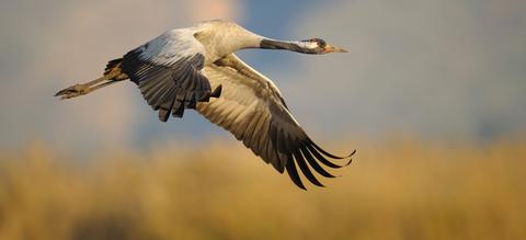 kraanvogel-in-vlucht-groot.jpg