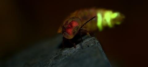 glimworm.jpg