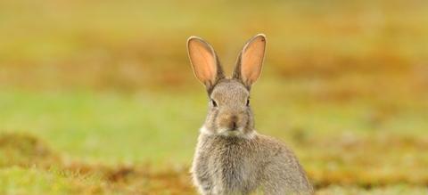 vilda-konijn.jpg