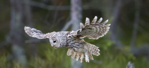 bosuil-vliegend.jpg