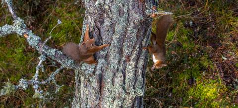 eekhoorns-spelen-verstoppertje.jpg