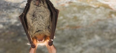 bechsteins-vleermuis-in-winterslaap-yves-adams-800-px-49979.jpg