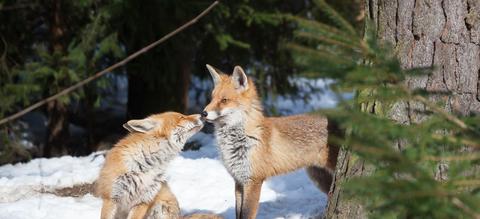 vossen-koppel-grooming.jpg