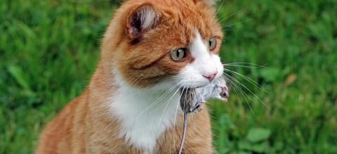 kat-vangt-muis.jpg