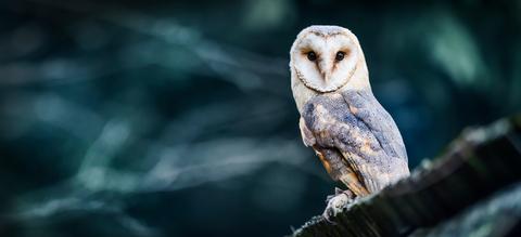barn-owl.jpg