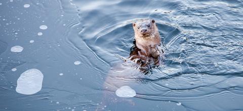 eurasian-otter-c-wwf-global-warming-image-lake-district-uk.jpeg