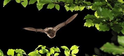 vilda-75597-nimfvleermuis-in-een-oud-bos-rollin-verlinde-1900-px-52844.jpg