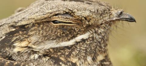 vilda-80415-nachtzwaluwportret-rollin-verlinde-800-px-53117.jpg