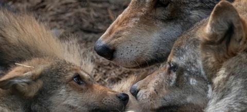 europese-grijze-wolf.jpg