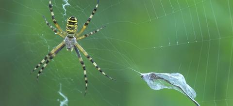 vilda-5113-tijgerspin-in-haar-web-rollin-verlinde-1900-px-54266.jpeg