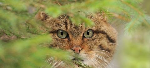 wilde-kat-close-up.jpeg