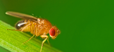 mannelijke-fruitvlieg.jpeg