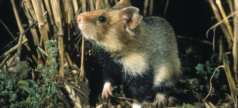 hamster-nacht.jpg