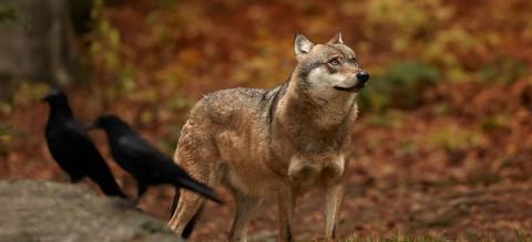 wolf-met-raven.jpeg