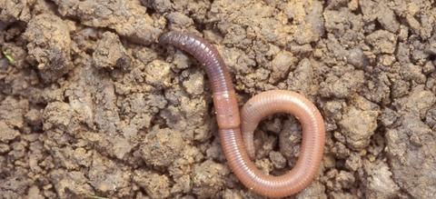 vilda-1179-regenworm-rollin-verlinde-1900-px-54996.jpeg