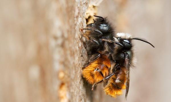 Bijen hulp nodig van één miljoen Europeanen