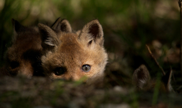 Schattige babyvosjes leren spelend jagen