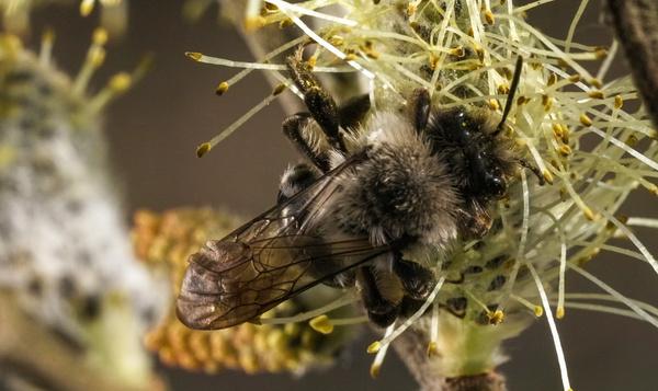 Zandbijen doen aan 'vechtparen'
