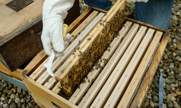 Horen bijen thuis in de stad?