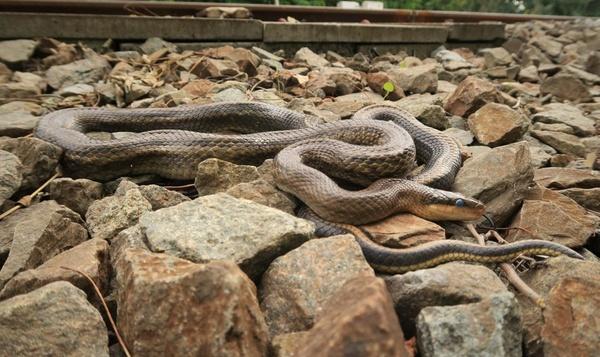 Vierde slangensoort vervoegt Belgisch slangentrio: Chinese prachtslang
