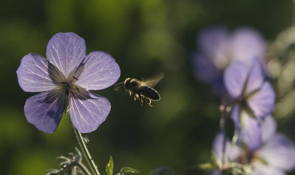 Faunachallenge #2: Volg een wilde bij van bloem tot bloem