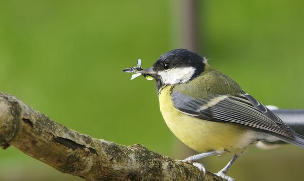 Flexitarische vogels jagen nu op insecten