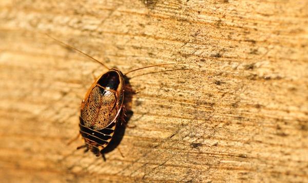 De kakkerlak: smerig of nuttig?