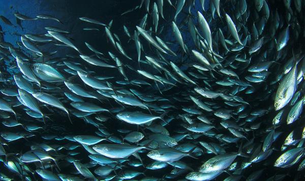Waarom vissen in een school zwemmen