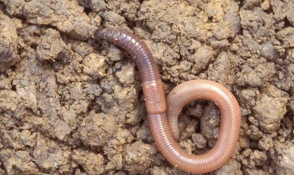 De regenworm: bodembederver of superingenieur?