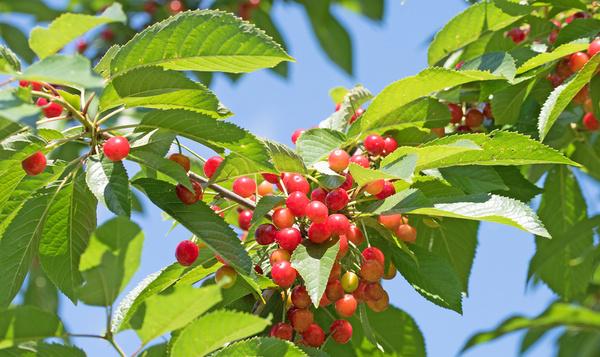 Bladeren van zoete kers maken nectar