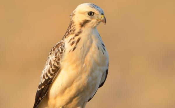 Een roofvogel in de kijker: buizerd