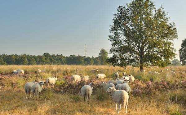 Oog in oog met grazende schapen