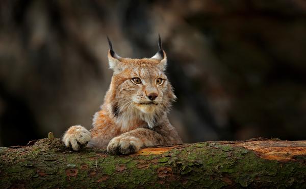 Meer weten over de lynx?